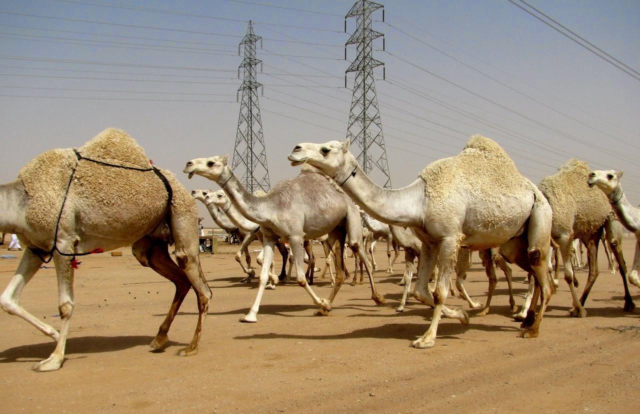 br />Saudi Arabia: Camel Souk of Riyadh   Minor Sights