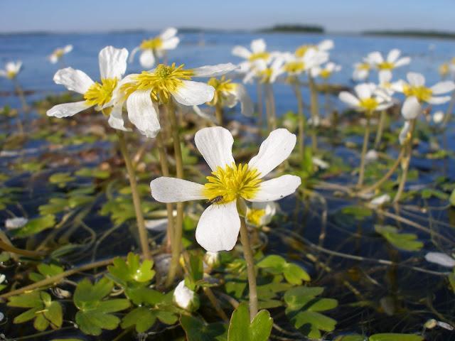Kukkia ja kärpänen veden pinnalla