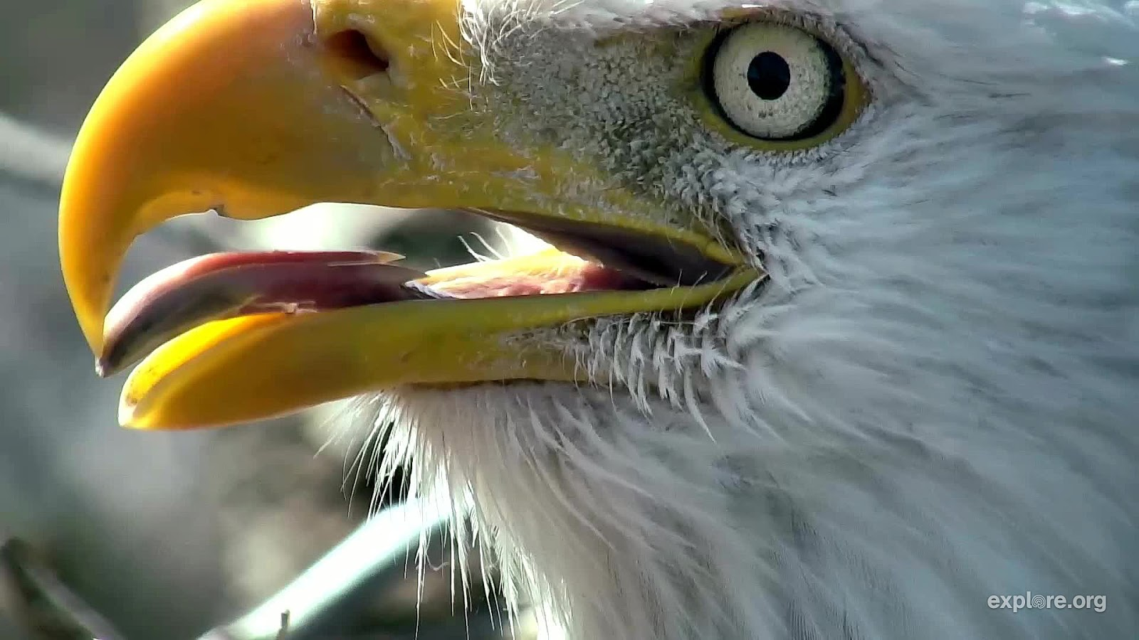 Raptor Resource Project Blog: Bald eagle tongues and beaks!