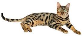 Kucing Ashera