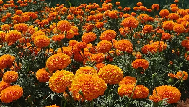 Marigold Flowers Tea benefits