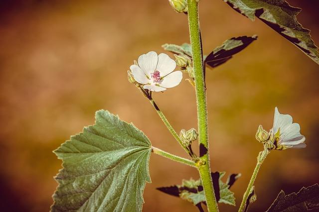 tanaman akar Marshmallow