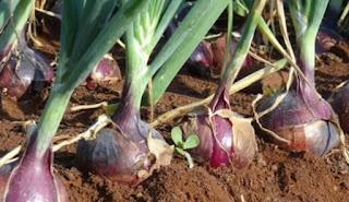 onion price in mandsaur mandi