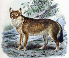 Caninae