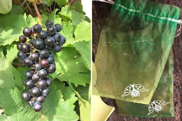 blaue Trauben und Traubenschutzsäcke