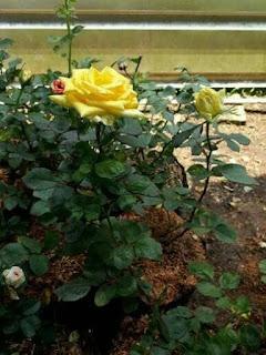 bibit-pohon-bunga-mawar.jpg