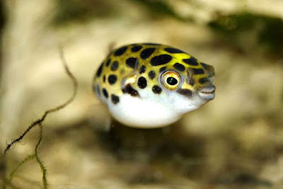 Mini Puffer Green Spotted