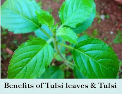 Benefits of Tulsi Leaves | Benefits of Tulsi - Ayurvedic Tips