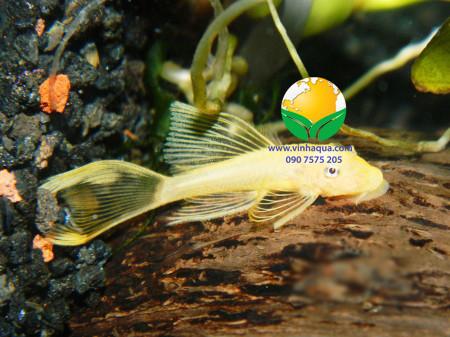 Cá longfin vàng mắt đen trong bể thủy sinh