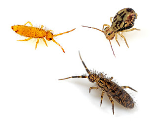 Three different types of springtails.