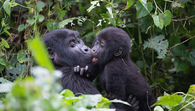 WHY IS UGANDA BEST FOR GORILLA TREKKING?
