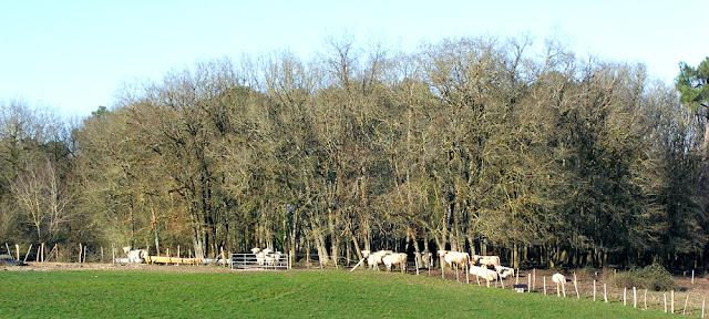 Charolais cattle herd.  Indre et Loire, France. Photographed by Susan Walter. Tour the Loire Valley with a classic car and a private guide.