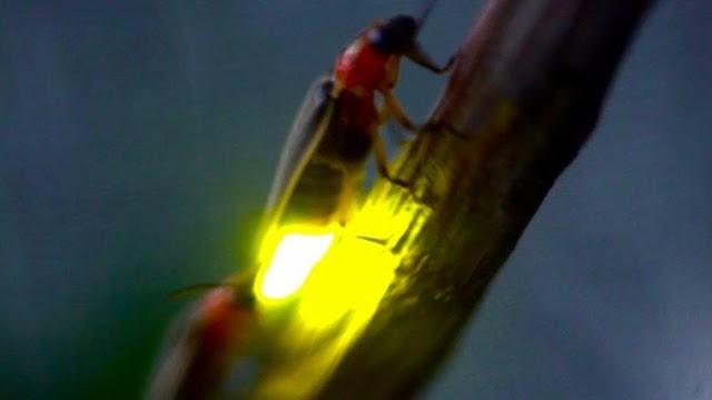 Ateş Böcekleri Nasıl Işık Saçar ?