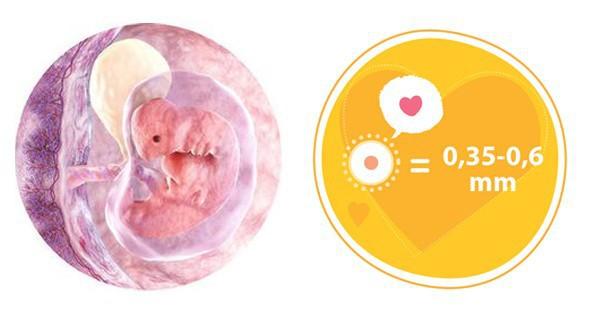 Ở tuần thứ 4 của tháng đầu tiên mang thai, tứ chi bắt đầu nhú ra nhưng không rõ rệt.