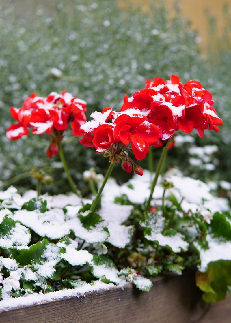 pelargonia, talvi, lumi