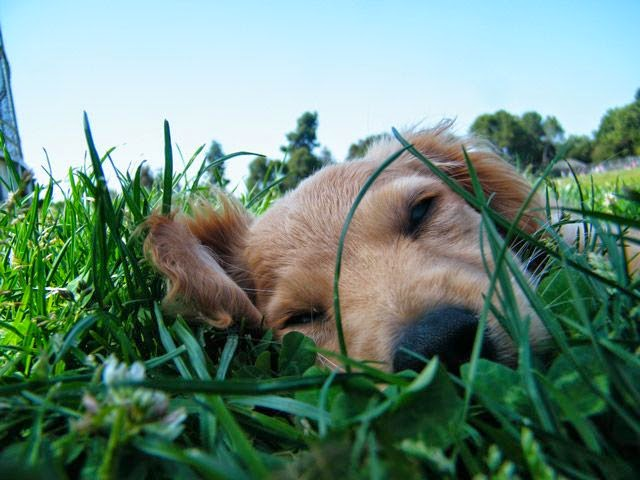 Why Dogs Eat Grass? How To Train Them To Stop