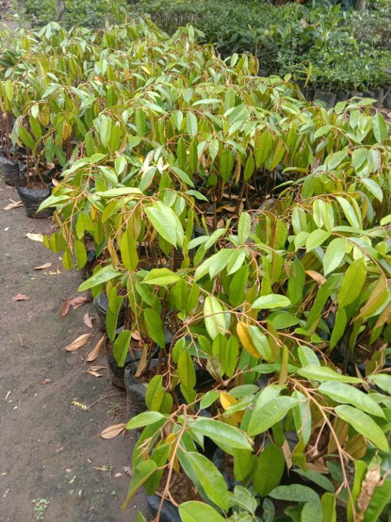bibit durian musangking kaki 3 Jakarta