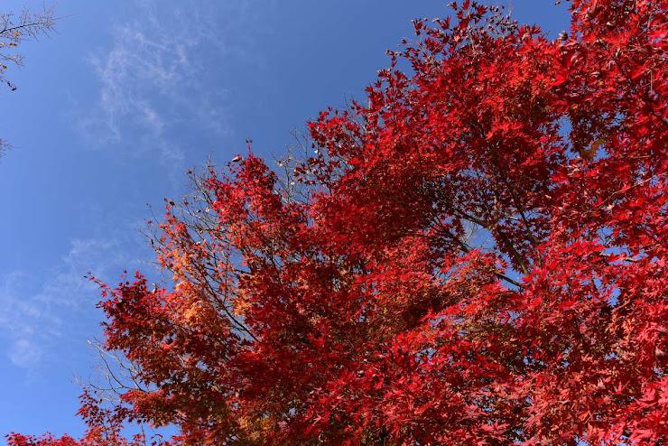 桜山公園の紅葉1