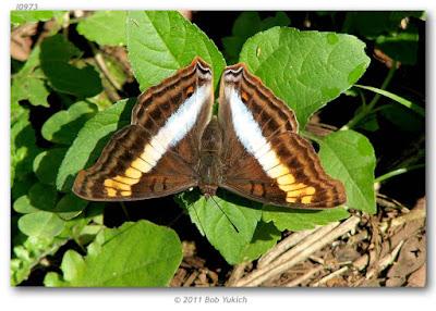 Mariposa zafiro (Doxocopa laurentia)