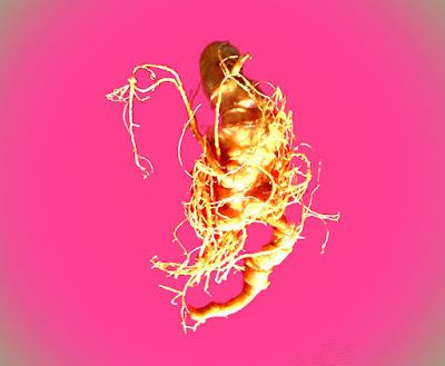 Sâm Ngọc Linh có công dụng thần kì trong việc cải thiện sức khỏe con người