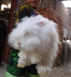 Cara merawat kelinci anggora anakan dan dewasa