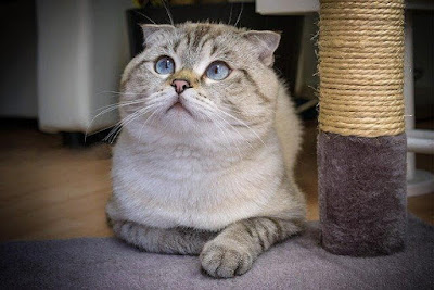 القط الاسكتلندي مطوي الآذان. Scottish fold