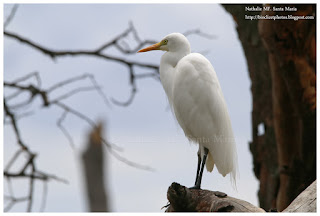 https://bioclicetphotos.blogspot.fr/search/label/H%C3%A9ron%20interm%C3%A9diaire%20-%20Ardea%20intermedia