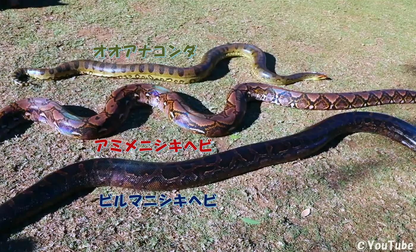 一堂に集うオオアナコンダ、アミメニシキヘビ、ビルマニシキヘビ①