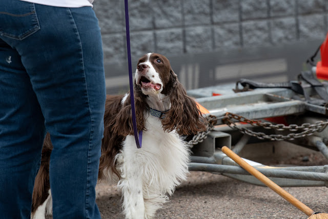 The benefits of nose work for 'naughty' and 'reactive' dogs. Photo shows Springer Spaniel doing scent work