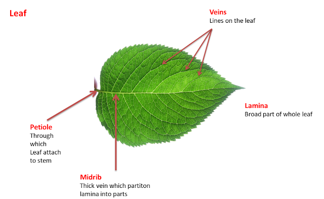 Leaf, NCERT class 6th science, getting to know plants