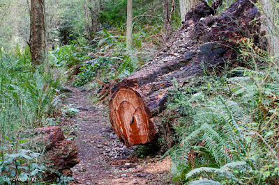 Windfall on the Lower Forest Trail