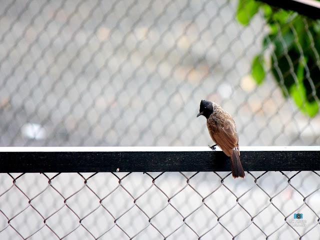 Birding | Bulbul | Bird Photography