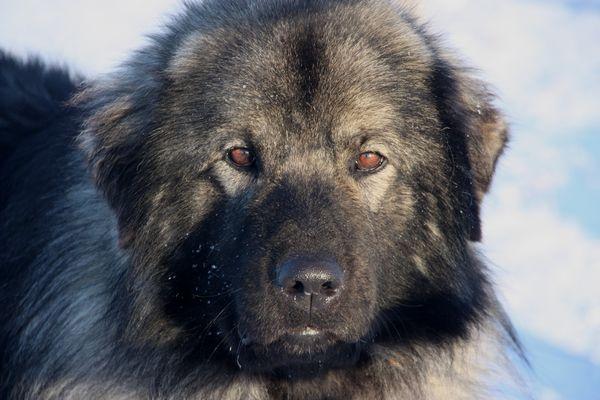 predator friendly ranching sarplaninac puppies