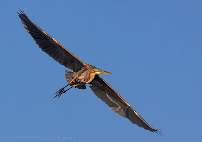 Purple Heron in Flight: Canon EOS R at 560mm / ISO 640 (100-400mm lens with 1.4 Extender)