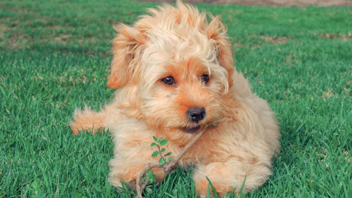 goldendoodle-mini-for-sale