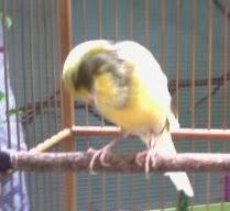 Pertolongan Pertama Untuk Burung Yang Sakit PERTOLONGAN PERTAMA UNTUK BURUNG YANG SAKIT