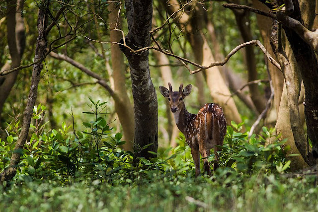 An aler deer in  Sundarbans National Park -UNESCO World  Heritage site in India