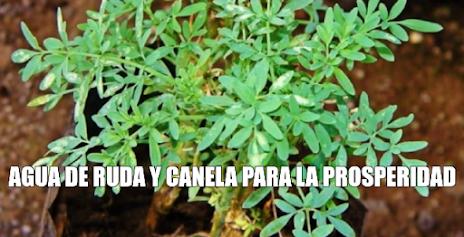 AGUA DE RUDA Y CANELA PARA LA PROSPERIDAD - PLANTAS MAGICAS