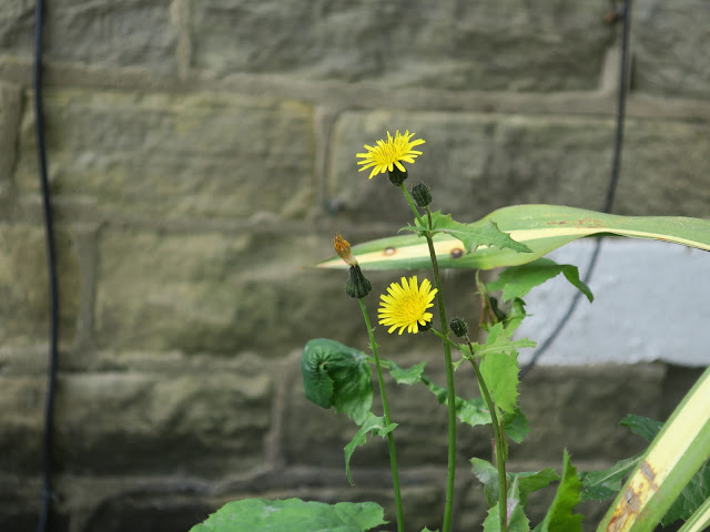 Smooth Sow Thistle. (Sonchus oleraceus) 16th May 2020