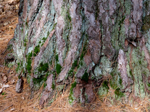 white pine bark with moss and lichens