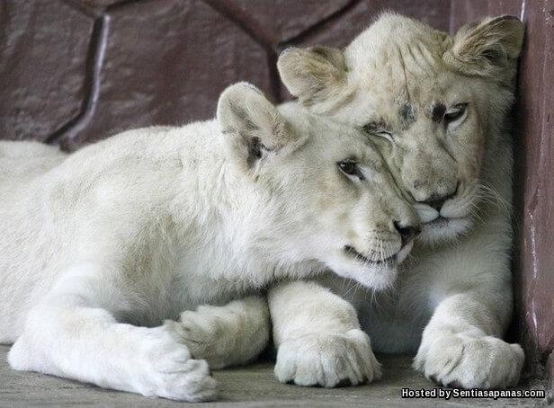 Singa Putih.jpg