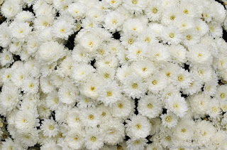 http://fotobabij.blogspot.com/2015/04/chryzantema-elda-white-chrysanthemum_14.html