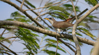 Yellow-billed Cuckoo – Sabal Palm Sanctuary, TX – July 28, 2013 – Stephen Ramirez