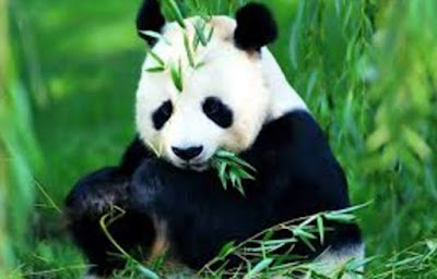 Gambar Fauna Panda Wallpaper HD