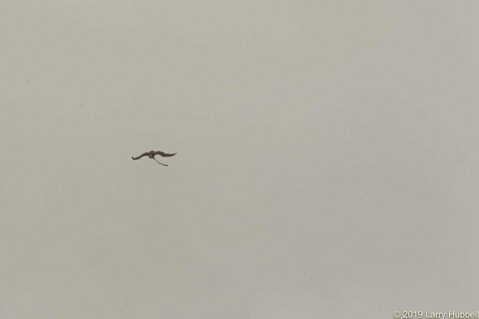 Great Egrets Lacy Courtship Birdnote >> Union Bay Watch