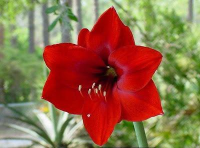 hình ảnh đpẹ hoa huệ đỏ và hoa huệ trắng