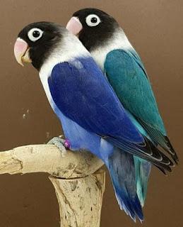 Cara jitu untuk mengatasi lovebird over birahi itu ada 2 (dua) tergantung usia