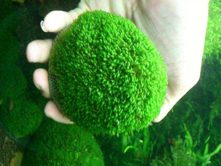 kinh nghiệm xử lý mini fiss thủy sinh bám đất lá cạn - fiss đã phát triển sau một thời gian