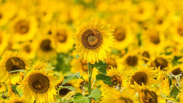 IPhone Wallpaper Sunflower Oil and Desktop