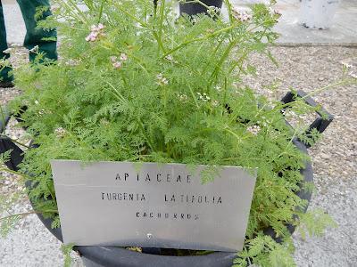 "alt=""Turgenia latifolia"""